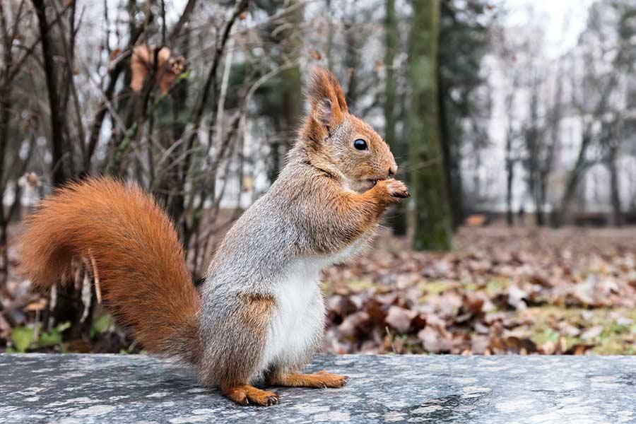 sfe-eekhoorn